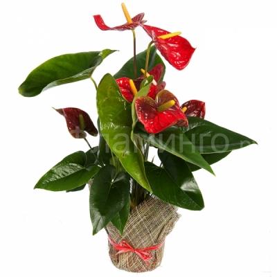 классы, какие комнатные растения дарить мужчине Заполнение